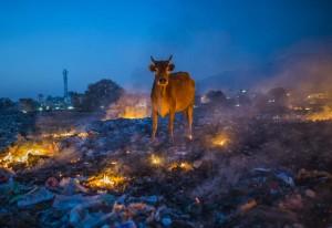 Vaca preguntándose sobre su existencia
