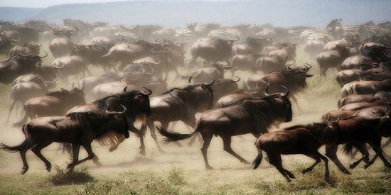 ¿Y si los humanos empezáramos a tener comportamientos extraños como una manada de ñus en desbandada?